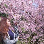 Đi Chiang Mai ngắm hoa anh đào nở